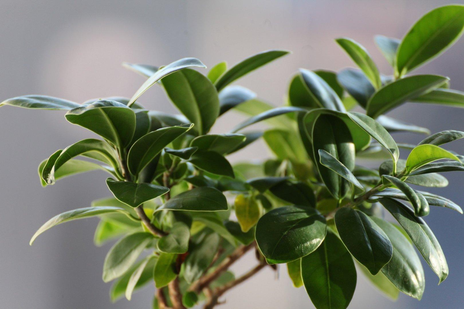 De Ficus is één van de planten die tegen een stootje kunnen